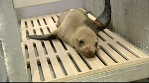 A SeaWorld rescue team says they were harassed while trying to help this sick sea lion pup on Nov. 22, 2014. (Credit: CNN)