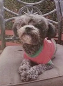 Spice's owner provided this photo of the Terrier who went missing on Nov. 21, 2014.