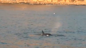 Up to nine orcas were spotted off the coast of Palos Verdes on Nov. 25, 2014. (Credit: Harbor Breeze Corp)