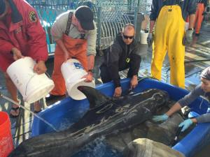 Lifeguards pour water on a dolphin that was rescued after becoming stranded on a beach in San Pedro on Saturday, Dec. 13, 2014. (Credit: Los Angeles County Fire Department)