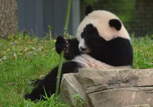 Bao Bao is seen during a birthday ceremony on her first birthday celebration at the National Zoo on Aug. 23, 2014, in Washington, D.C. (Credit: MANDEL NGAN/AFP/Getty Images)
