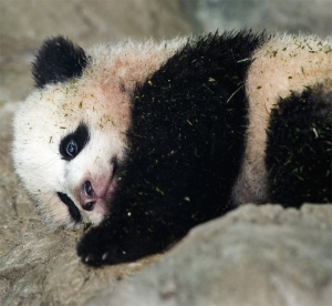 Bao Bao is seen by the media for the first time January 6, 2014 inside his glass enclosure at the National Zoo in Washington, DC. (Credit: Getty Images)