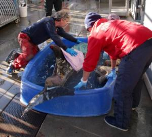 Rescuers worked to save a dolphin found Dec. 13, 2014, on a San Pedro beach. (Credit: Los Angeles County Fire Department, Lifeguard Division)