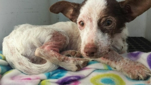 A sick dog who was abandoned then discovered by a good Samaritan in Fontana was recovering on Dec. 9, 2014. (Credit: Fontana Police Department)