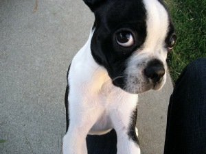 The Hollon family provided this photo of their dog, a 7-year-old Boston terrier named Babel who was killed in the Dec. 21, 2014, crash.