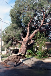 A large tree fell on a home on Arminta Street in Reseda. No injuries were reported. (Credit: Steve Gentry)