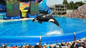 Orca shows at Shamu Stadium have long been the top attraction at SeaWorld San Diego. (Credit: Los Angeles Times)