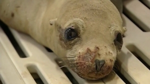 The number of sick sea lions increased 40 percent in 2015 compared with 2014, officials with Laguna Beach's Pacific Marine Mammal Center said on Jan. 16, 2015. (Credit: KTLA)