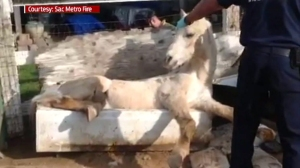"""""""Phantom"""" the horse had to be rescued after getting stuck in a tub on Feb. 4, 2015. (Credit: Sacramento County Metro Fire District)"""