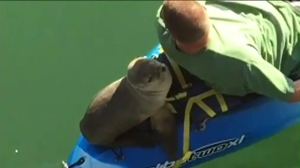 A sea lion hitched a ride with a Fullerton family during a kayaking outing in Santa Barbara. (Credit: KEYT)