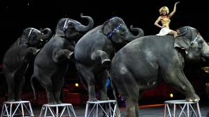Ringling Bros. and Barnum & Bailey circus elephants perform during Barnum's FUNundrum in New York on March 26, 2010. (Credit: EMMANUEL DUNAND/AFP/Getty Images)