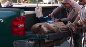 Department of fish and wildlife wardens work on the sedated mountain lion, which later died during transport. (Credit:  Joseph Fanaselle.
