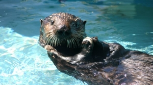 """Olive the Oiled Otter"" is seen in a photo from the California Department of Fish and Wildlife."