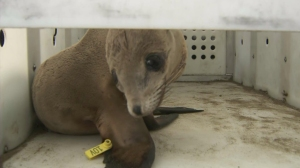 A sea lion pup rescued by Peter Wallerstein is shown in its cage on March 9, 2015. (Credit: KTLA)