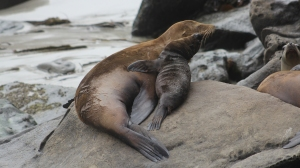 A California sea lion and her pup are show in 2012. (Credit: Tony Orr Alaska Fisheries Science Center, NOAA Fisheries Service)