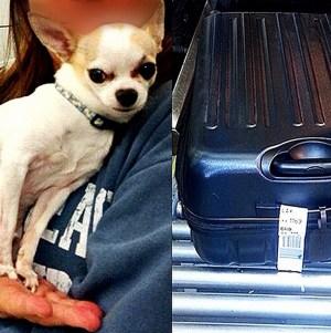 "The TSA posted this photo of the Chihuahua on Instragram March 6, 2015, with the caption ""#TSATravelTips - Ay, #Chihuahua! """