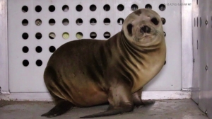 A seal was recovered after four men allegedly abducted its sibling from Dockweiler State Beach on April 19, 2015. (Credit: Loudlabs)