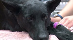 Monterey Park police K-9 Robin is recovering after being stung 60 times by bees. (Credit: KTLA)