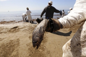 A crew member holds a dead fish as West Coast Environmental crews bag oiled sand at Refugio State Beach. (Credit: Al Seib / Los Angeles Times)