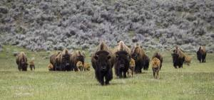 Bison are shown in a photo posted by Yellowstone National Park's Facebook page on June 2, 2015, when a man was gored by one such animal.