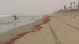 Thousands of dead or dying red crabs washed up onto the sand at Huntington Beach on June 15, 2015. (Credit: KTLA)
