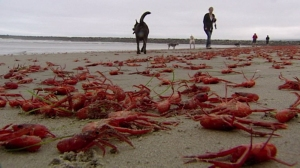 Crabs appeared on Ocean Beach in San Diego County on June 12, 2015. (Credit: KFMB)