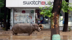 A hippopotamus walks along a flooded street in Tbilisi on June 14, 2015. Tigers, lions, jaguars, bears and wolves escaped on June 14 from flooded zoo enclosures in the Georgian capital Tbilisi, the mayor's office said. (Credit: Beso Gulashvili/AFP/Getty Images)