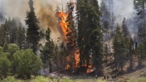 A tall pine tree erupts into flames as hotshot crews from Mill Creek keep the Lake fire from crossing a meadow into the Heart Bar Training Facility. (Credit: Gina Ferazzi/Los Angeles Times)