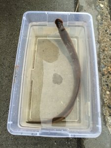 A lamprey is shown in a plastic container of water. (Credit: Alaska Department of Fish & Game)
