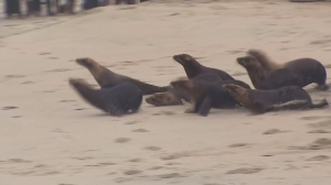 More than a dozen sea lions that were sickened by chlorine poisoning in April at a Laguna Beach facility were released back into the ocean on June 2, 2015. (Credit: KTLA)