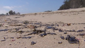 Blobs of oil appeared on the beach in Goleta after a possible spill on July 29, 2015. (Credit: KTLA)