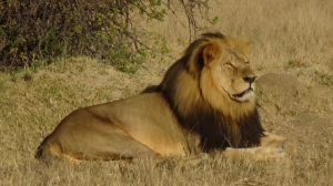An American man is being sought in connection with a case that has drawn international attention -- the killing of Cecil the lion -- Zimbabwean officials said Tuesday, July 28, 2015.  (Credit: David Amyot)