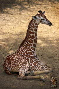 Kipenzi, a baby giraffe that captivated an Internet audience with its live birth at the Dallas Zoo a few months ago, has died. (Credit: Dallas Zoo)