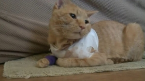 A stray bullet went through a window in Angelica Sipe's home. The bullet went in the couch and then hit Opie the cat. (Credit: WPMT)