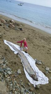 This oarfish washed ashore on Catalina Island on Aug. 17, 2015. (Credit: Annie MacAulay)