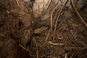 P-43 is shown in a den in thick brush near Malibu Creek State Park. (Credit: Santa Monica Mountains National Recreation Area)