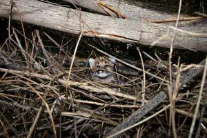 Another image shows P-44 well hidden in her den. (Credit: Santa Monica Mountains National Recreation Area)