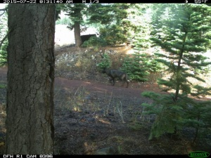 A remote trail camera captured images of a large canid in Siskiyou County in July 2015, and the animal is believed to be a gray wolf. (Credit: California Department of Fish and Wildlife)