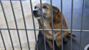 A dog is seen inside the Friends of Upland Animal Shelter on Aug. 2, 2015. (Credit: KTLA)