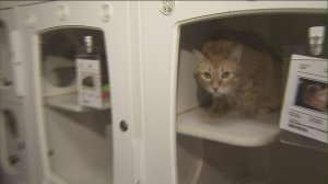 A cat is seen inside the Friends of Upland Animal Shelter on Aug. 2, 2015. (Credit: KTLA)