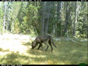 Another trail camera shot dated Aug. 9, 2015, shows a gray wolf in Northern California. (Credit: CDFW)