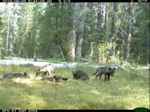 A trail camera shot dated Aug. 9, 2015, shows five gray wolf pups in Northern California. (Credit: CDFW)