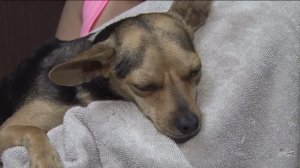 Another dog, this time a Chihuahua, was found burned with some type of chemical in the Antelope Valley area. (Credit: KTLA)