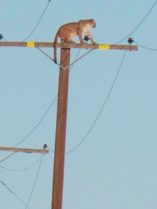 A mountain lion was spotted atop a power pole in Lucerne Valley on Sept. 29, 2015. (Credit: Peter Day/Victor Valley Daily Press)