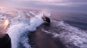 A killer whale is seen chasing a boat off the coast of San Diego on Sept. 10, 2015. (Credit: Ben / ViralHog.com)