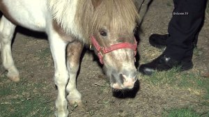 Police in Northridge were called in to help corral a runaway pony on Tuesday, Oct, 6, 2015. (Credit: OnScene Video)