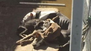 A photo taken by a neighbor that went viral captured the heart-wrenching sight of four dogs -- barely more than skin and bones -- huddling together in a backyard in Pico Rivera. (Credit: Janette Gonzalez)