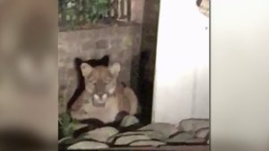 Matthew Keegan provided this image of a mountain lion apparently sitting in front of a Beachwood Canyon home on Oct. 31, 2015.