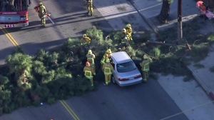 A driver had to be rescued in South Los Angeles after a tree fell onto a car. (Credit: KTLA)
