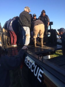 Rescuers loaded an elephant seal onto a pickup truck after she was sedated with a tranquilizer on Dec. 29, 2015. (Credit: California Highway Patrol)